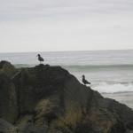 Black Oyster Catchers