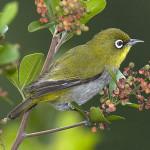 Photo by Johann Grobbelaar taken from http://www.biodiversityexplorer.org/birds/zosteropidae/zosterops_virens.htm