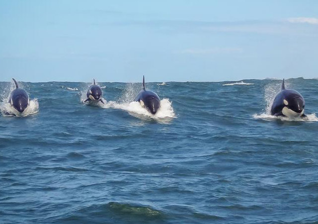 Killer whales in Knysna